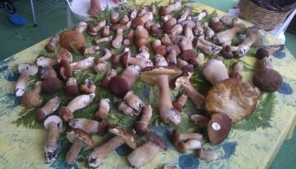funghi,la ricerca dei funghi,messina,camaro,i funghi nei boschi di messina,fungo porcino,cammaroti,la passione dei funghi